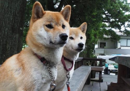 カワイイ看板犬