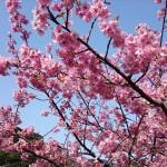 河津桜まつりと稲取つるし雛